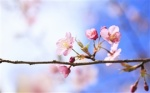 spring-cherry-blossoms-close-up-blurred-background_s.jpg